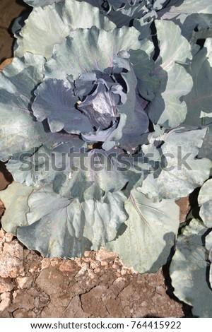 Arizona cabbage field #764415922