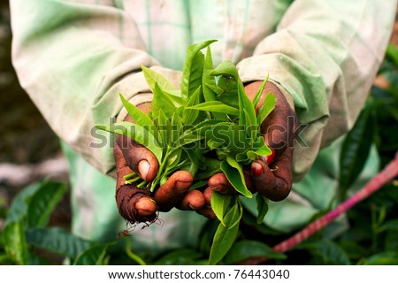 Young woman hand holding green tea leaf #76443040