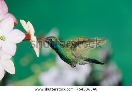 Broad-billed Hummingbird, Cynanthus latirostris,male feeding on Nicotiana (Nicotiana sp.), Madera Canyon, Arizona, USA, May #764536540