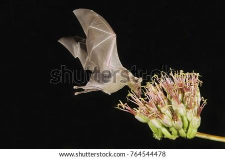 Lesser Long-nosed Bat, Leptonycteris curasoae, adult in flight at night feeding on Agave blossom (Agave spp.),Tucson, Arizona, USA, September #764544478