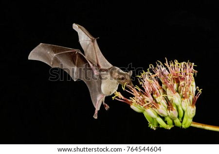 Lesser Long-nosed Bat, Leptonycteris curasoae, adult in flight at night feeding on Agave blossom (Agave spp.),Tucson, Arizona, USA, September #764544604