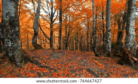 beautiful autumn twilight image, old beech trees on slope of mountain in the forest,  landscape in the mountains, misty dreamy scene,  Europe, Carpathians #764667427