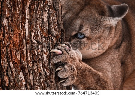 Beautiful Portrait of a Canadian Cougar