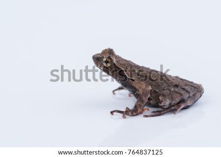 Xenophrys parva (Boulenger, 1893) : frog on white background. #764837125