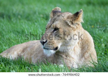 Lions on a grassy plain #764986402