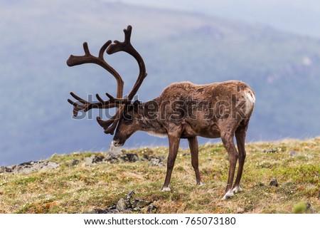 Bull Caribou on alpine tundra in the Yukon, Canada Royalty-Free Stock Photo #765073180