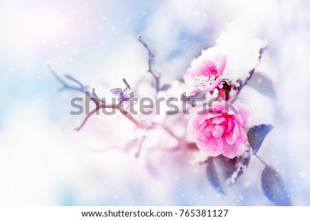 Beautiful pink roses and butterfly in the snow and frost on a blue and pink background. Snowing. Artistic winter natural image. Selective and soft focus.