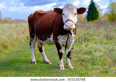 Cow on a summer pasture with a rope tied #765518788