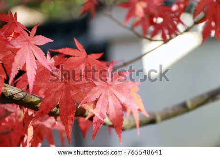 Red Japanese Maple Leaf on the tree with sunlight. The leaves change color from green to yellow, orange and red in autumn. #765548641