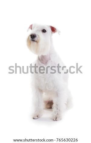 portrait of a miniature schnauzer on a white background in studio isolate. #765630226
