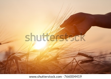Beautiful agriculture sunset landscape. Ears of golden wheat close up. Rural scene under sunlight. Hand and ripening ears of agriculture landscape. Growth harvest. Wheat field natural product. Royalty-Free Stock Photo #766004419