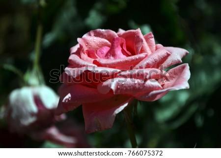 Flower Roses Garden #766075372