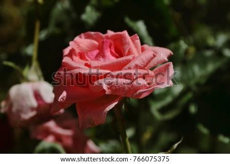 Flower Roses Garden #766075375