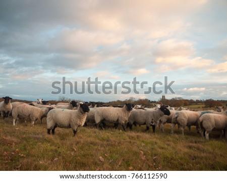 farmland close up white sheep farm grass grazing standing animals; essex; england; uk #766112590