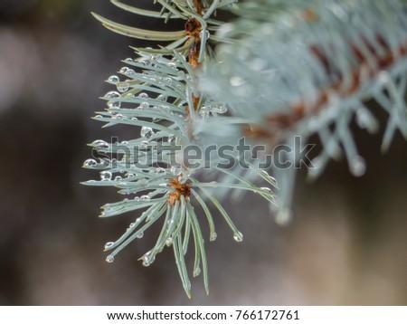 Rain drops on needles. Water drops on needles on macro photo. #766172761