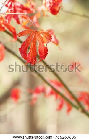 Maple leaves in winter season at Korea #766269685