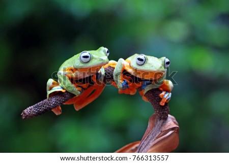 tree frog, flying frog, wallace frog #766313557
