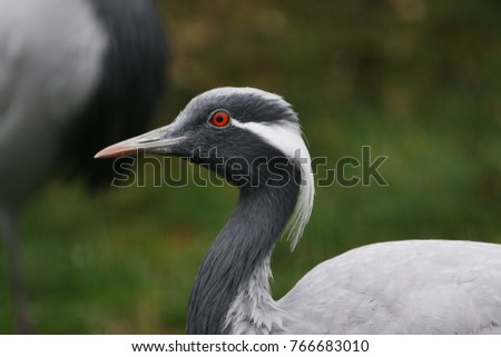 Demiselle crane. An elegant bird species occurring in Asia on a close up horizontal picture.