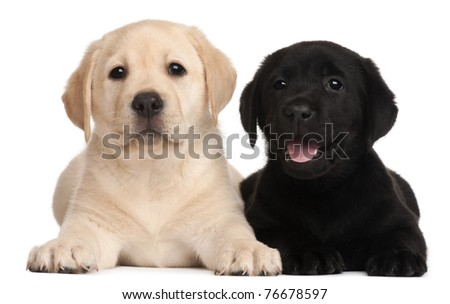 Two Labrador puppies, 7 weeks old, in front of white background #76678597