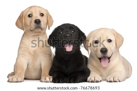 Three Labrador puppies, 7 weeks old, in front of white background #76678693
