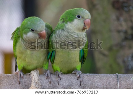 The monk parakeet (Myiopsitta monachus), also known as the Quaker parrot, is a small, bright-green parrot with a greyish breast and greenish-yellow abdomen #766939219