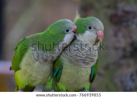 The monk parakeet (Myiopsitta monachus), also known as the Quaker parrot, is a small, bright-green parrot with a greyish breast and greenish-yellow abdomen #766939855