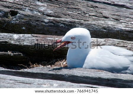 Busselton Australia, seagull nesting on abandoned timber structure #766941745