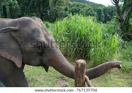 The Asian elephant (Elephas maximus) is a species of proboscidean mammal of the family Elephantidae. It is the largest mammal in the Asian continent #767139706