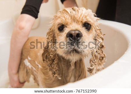 Wet dog. American cocker spaniel in the bathroom. Dog looks at the camera. Grumer washes the dog with foam and water. #767152390
