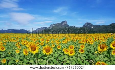 Sunflower with sunglasses, Sunflowers garden,field sunflower    #767260024