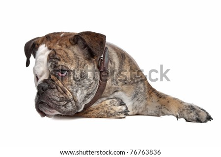 English bulldog in front of a white background #76763836