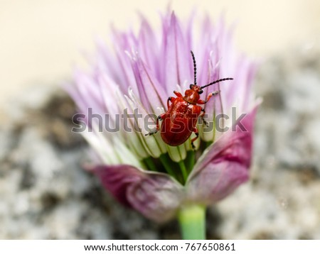 photo shows a red lily leaf beetle on chives flower Royalty-Free Stock Photo #767650861