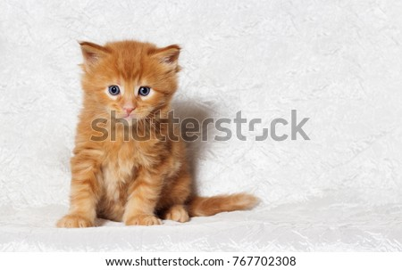 Maine Coon ginger kitten looks #767702308