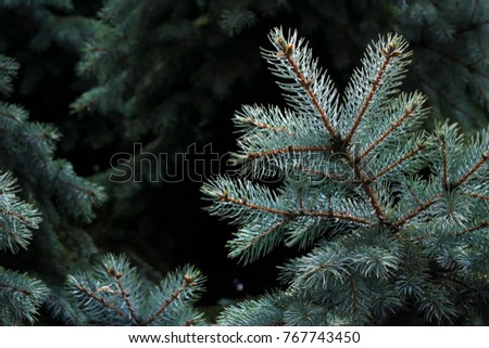 Green needles on branches of Christmas trees #767743450