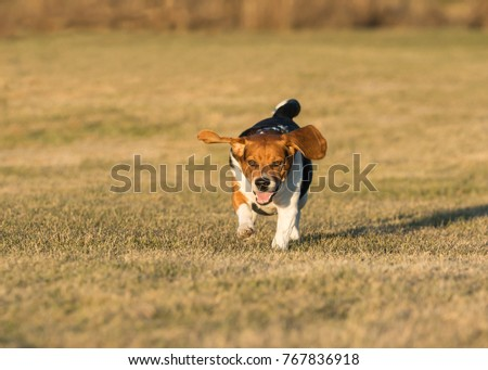 Beagle running in the grass #767836918