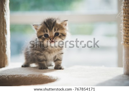 Cute persian kitten walking on cat tower Royalty-Free Stock Photo #767854171