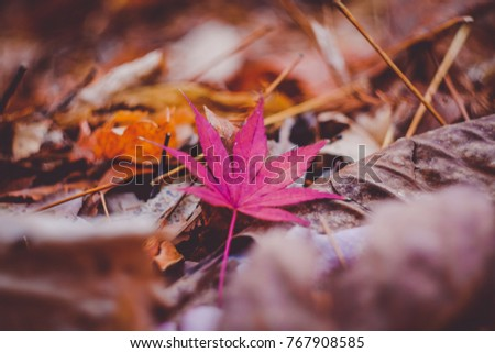 One maple leaves on dry leafs. Winter season in Korea. Vintage background concept.  #767908585