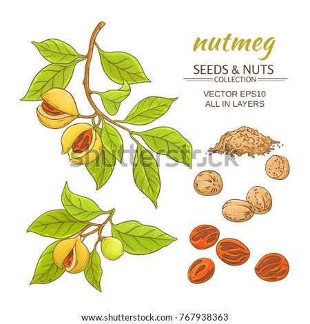nutmeg branches vector set on white background Royalty-Free Stock Photo #767938363