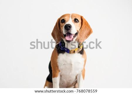 Beautiful Beagle dog on white background. #768078559