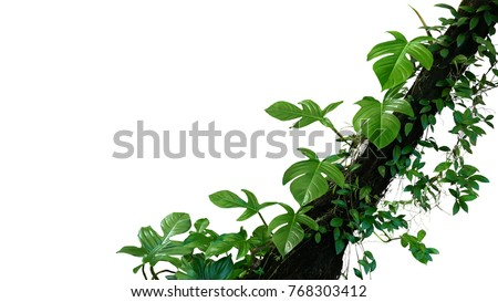 Fiddle leaf philodendron the tropical plant and jungle liana green leaves vines climbing on rainforest tree trunk isolated on white background, clipping path included. #768303412