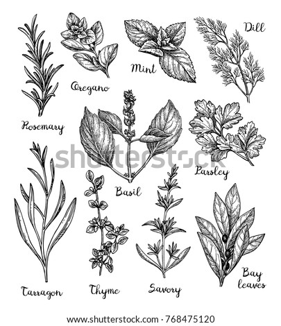 Herbs set. Collection of ink sketches isolated on white background. Hand drawn vector illustration. Retro style. #768475120