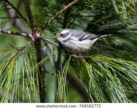 Black-throated Gray Warbler Perched in Pine Tree #768582772