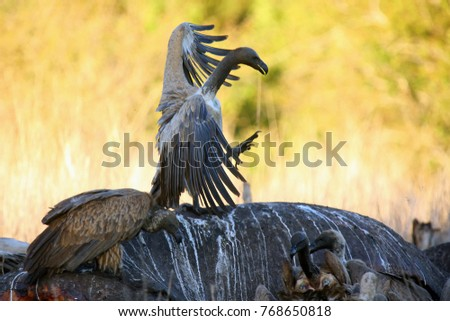 The white-backed vulture (Gyps africanus) sitting on the hippo's carcass. Vulture sitting on hippo at sunset.