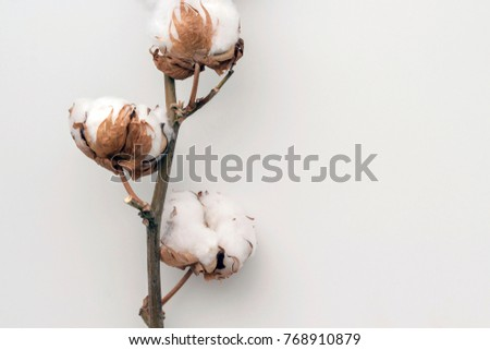 Dried white fluffy cotton flower on white background, close up, copy space, top view #768910879