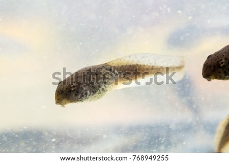 Tadpole American bullfrog that was swimming. #768949255