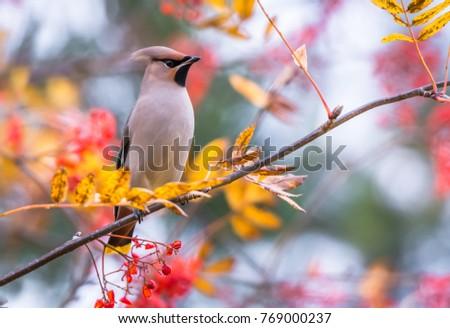 Waxwing bird autumn #769000237
