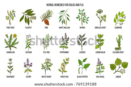 Collection of natural herbs for colds and flu. Hand drawn botanical vector set of medicinal plants #769139188