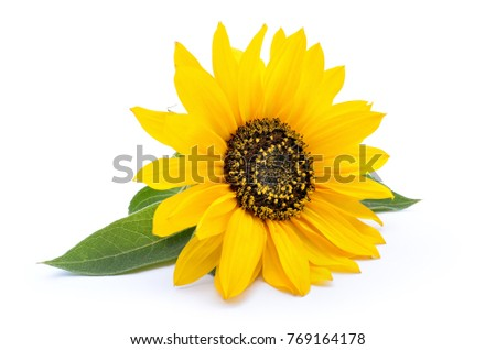 Sunflower with leaves isolated on white background #769164178