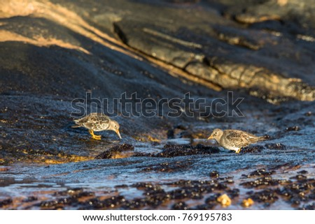Purple Sandpiper, Calidris maritima looking for food #769195783