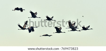 Birds in flight. A silhouettes of cranes in flight. Flock of cranes flies at sunset. Foggy morning, Sunrise sky  background. Common Crane, Grus grus or Grus Communis, big bird in the natural habitat.  Royalty-Free Stock Photo #769473823